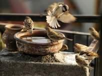 जागतिक चिमणी दिन; वाढत्या सिमेंटीकरणाने पक्ष्यांचा अधिवास धोक्यात