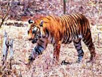 वाघाचा शूटर नवाब जंगलाबाहेर