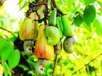 रत्नागिरी :लहरी हवामानामुळे आंबा, काजू संकटात, रानमेव्यालाही फटका