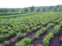 जालन्यातील पानशेंद्रा येथे तीन पिढ्यांपासून फुलते बाराही महिने फूलशेती; रोज होतो रोखीचा व्यवहार