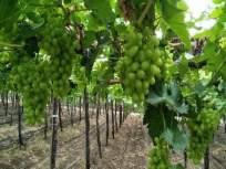 नाशिकमधून युरोपात ७१ कोटींची द्राक्ष निर्यात