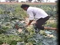 कोबीला कवडीमोल भाव, शेतकऱ्याने फावड्याने गड्डे फोडले!
