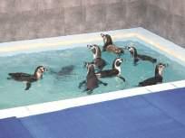 पेंग्विन लवकरच देणार गोड बातमी; मुंबईकरांची उत्सुकता शिगेला