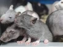 मंत्रालयात उंदीर महाघोटाळा! एका आठवड्यात मारले ३ लाख १९ हजार ४०० उंदीर ! एका मिनिटात ३२ उंदीर !!