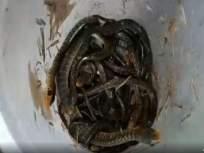 सर्पमित्राने सापाच्या १२ अंड्यातील पिल्लांना दिले जीवदान