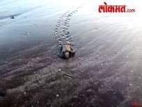 रत्नागिरी : कासवांची पिल्लं सुखरुप सोडली समुद्रात