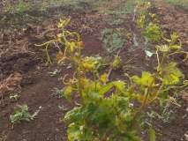 तणनाशक फवारल्याने द्राक्ष बागेचे चार लाखांचे नुकसान