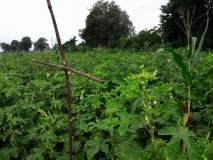 लासूर येथील शेतकºयाचा उत्तम नैसर्गिक शेतीचा प्रयोग