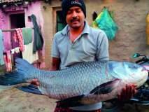 सांगली : वारणा नदीत सापडला वीस किलोचा मासा,मासा अस्थिमत्स्यांच्या सायप्रिनिड कुळातील कटला वंशाचा