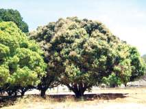 सिंधुदुर्ग :आंबा पिकावर होणार विपरीत परिणाम, बागायतदार धास्तावले