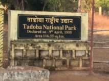ताडोबा बफर झोनमध्ये सुरू होणार पर्यटकांसाठी चार नवे प्रवेशद्वार