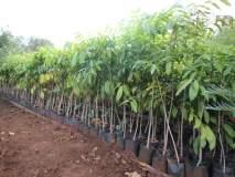 कोल्हापुरात पावसाळ्याच्या तोंडावर 'शतकोटी वृक्ष'लागवडीची तयारी