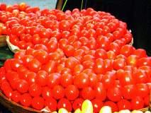 नाशिक जिल्ह्यात भाव घसरल्याने टोमॅटो फेकण्याची वेळ