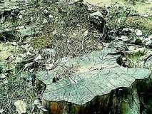 एफडीसीएम रोपवनातील झाडे नष्ट