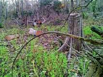 लगाम क्षेत्रात शेकडो सागवानी झाडांची कटाई