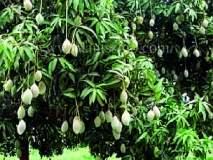 फळ पिकांची ९९ हजार कलमे उपलब्ध
