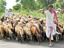 भंडारा जिल्ह्यात मेंढपाळ चारा-पाण्याच्या शोधात