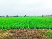 ढगाळ वातावरणामुळे शेतकरी चिंतित