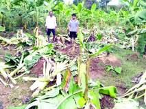 सिंधुदुर्ग : हत्तीचे विजघरात धुमशान, केळी बागायतीचे मोठे नुकसान