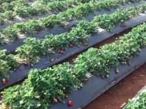 कडाक्याची थंडी अन् स्ट्रॉबेरीची गोडी, महाबळेश्वर, पाचगणीच्या बाजारपेठेत फळे विक्रीसाठी दाखल