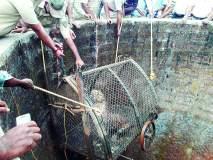 रत्नागिरी : संगमेश्वर तालुक्यात विहिरीत पडलेल्या बिबट्याला जीवदान, सोडले नैसर्गिक अधिवासात