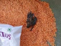 गोंदिया जिल्ह्यातील अंगणवाडी पोषक आहारात वटवाघुळाचे मृत पिल्लू