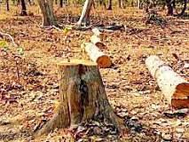 डुग्गीपार बिटातील सागवान वृक्षांची चोरी
