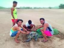 रत्नागिरी: गुहागर समुद्रकिनारी जाळ्यात अडकलेल्या कासवांना जीवदान