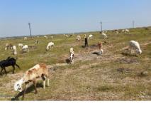 जत तालुक्यातील मेंढपाळांची चाऱ्यासाठी भटकंती
