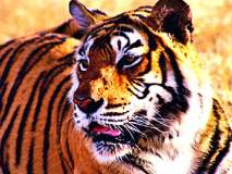 आमगाव परिसरात वाघाची दहशत कायम