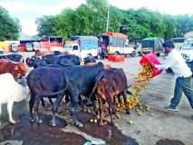 संतप्त शेतकऱ्याने टमाटे फेकले गुरांसमोर