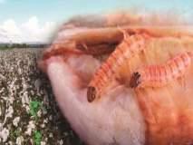 बीडमध्ये बोंडअळीच्या नुकसानीचे अनुदान सर्व मंडळातील शेतकऱ्यांना