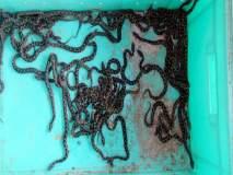 शिंदेवाडी येथे घोणस जातीच्या ४ फुटी विषारी सापाने ४७ पिलांना दिला जन्म
