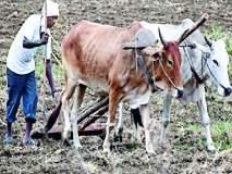 रखरखत्या उन्हात शेतीची कामे