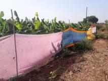 तापमानवाढीमुळे केळी बागा संकटात, संरक्षणासाठी शेतकऱ्यांची धडपड