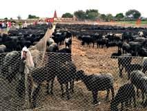 बाळूमामाच्या मेंढ्या दर्शनासाठी गर्दी