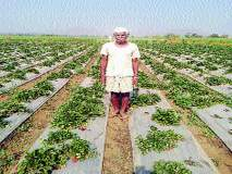 स्ट्रॉबेरीमुळे आदिवासी शेतकऱ्यांना उभारी
