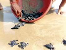 सिंधुदुर्ग : कासवांच्या ६१ पिल्लांना समुद्रात सोडले, १०१ अंडी केली होती संरक्षित