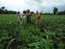 भडगाव तालुक्यातील बोदर्डे येथील शेतकऱ्याने एक एकर ज्वारीवर फिरविला नांगर