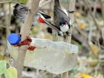 सातारा : अजिंक्यताऱ्यांवर जाऊ... पक्ष्यांना खाऊ-पिऊ घालू, चाहूल उन्हाळ्याची, पर्यावरणप्रेमींकडून किल्ल्यावर पाणी, खाद्याची सोय