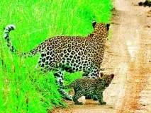 हिंस्त्र वन्यप्राण्यांचा लोकवस्तीलगत संचार वाढतोय!