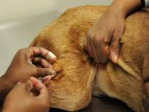 जनावरांसाठी लसीची खरेदी :प्रधान सचिवांचे आक्षेप डावलून उपसचिवांचा सल्ला मानला