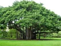 'ही' 5 झाडं देतात सर्वात जास्त ऑक्सिजन!