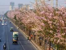 मुंबईत 'बसंत' बहार; विक्रोळी परिसरातील 'बसंत रानी'च्या वृक्षांना बहर