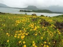 भंडारदरा : कळसुबाई-हरिश्चंद्र अभयारण्यात निसर्गाचा 'पुष्पोत्सव'