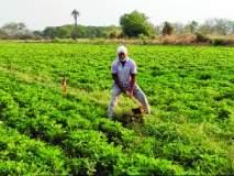 चार एकर शेतीत घेतले चार लाखांचे उत्पन्न; बिलोलीच्या आधुनिक शेतकऱ्याची किमया