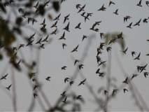 VIDEO : भोरड्यांची माळ फुले! पक्षांचा मुक्त संचार पाहून हरखून गेले पर्यटक