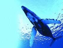 ब्लू व्हेल मासे बहुतेक आहेत उजवा हात प्रवृत्तीचे