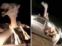 Video: भरधाव कारची उंटाला जोरदार धडक, उंट कारमध्ये अडकला!