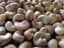 काजूबियांचे उत्पादन जोरात; जव्हार, मोखाडा, विक्रमगड तालुक्यांतून शेकडो टन माल निर्यात